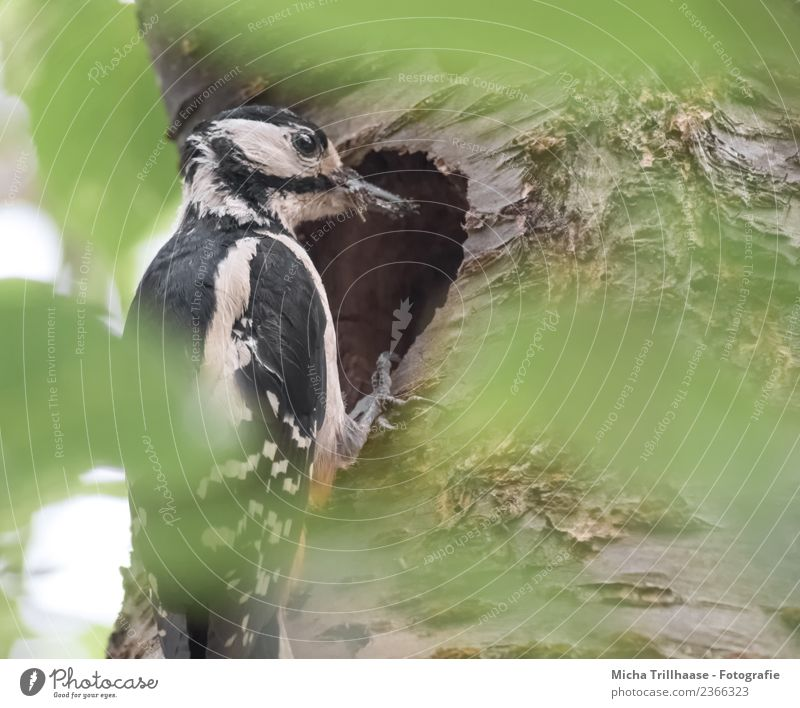 Great spotted woodpecker at the cave Environment Nature Animal Sun Beautiful weather Tree Leaf Forest Wild animal Bird Animal face Wing Claw Woodpecker