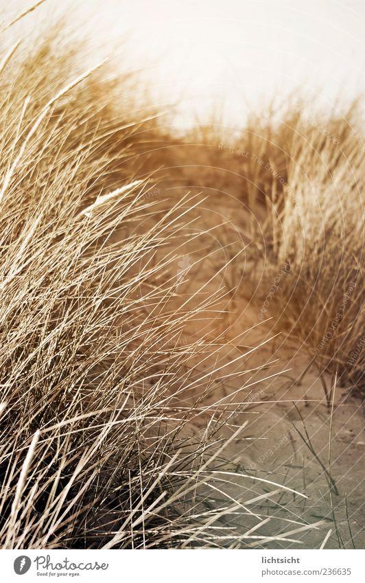 dune Nature Landscape Sand Summer Climate Coast Lanes & trails Beach dune Marram grass Sepia Subdued colour Exterior shot Detail Day Light