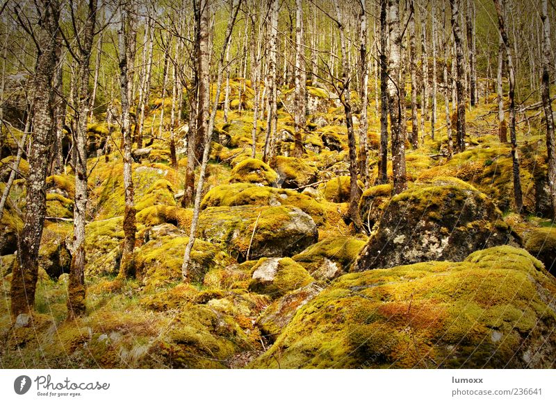 Nature Tree Plant Forest Environment Esthetic Europe Moss Norway Scandinavia Birch wood Jostedalsbreen