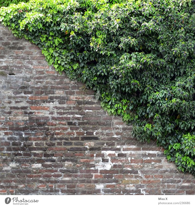 it's going downhill Plant Bushes Ivy Leaf Wall (barrier) Wall (building) Growth Diagonal Colour photo Exterior shot Pattern Deserted Copy Space top
