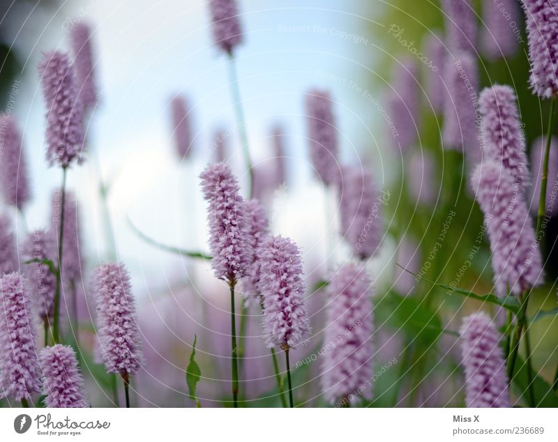 toothbrush Nature Plant Spring Summer Flower Leaf Blossom Meadow Blossoming Fragrance Growth Pink Violet Colour photo Multicoloured Exterior shot Close-up