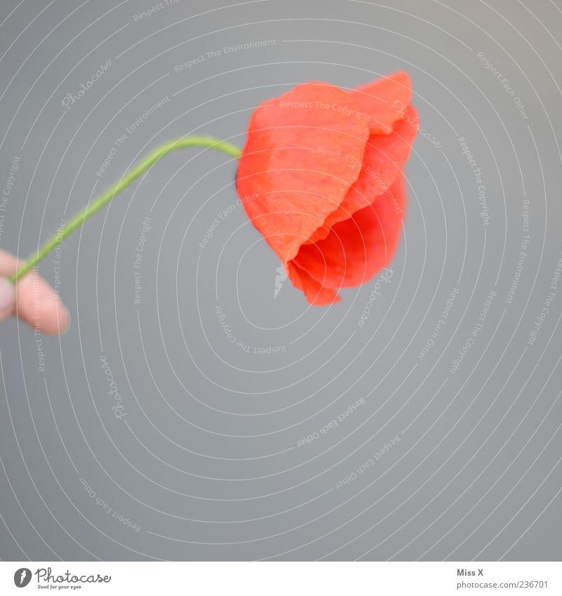 Hand Plant Red Flower Blossom To hold on Blossoming Poppy Fragrance Limp Faded Poppy blossom Flower stalk