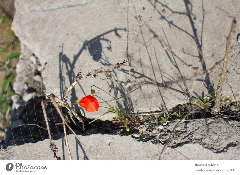 Survival of the Fittest Beautiful weather Flower Corn poppy Wall (barrier) Wall (building) Stone Concrete Old Blossoming Illuminate Simple Broken Trashy Gray
