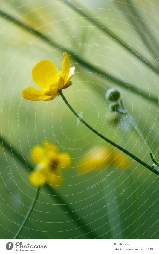 buttercup meadow Environment Nature Plant Spring Summer Flower Blossom Wild plant Meadow Yellow Green Crowfoot Crowfoot plants Blur Flower meadow