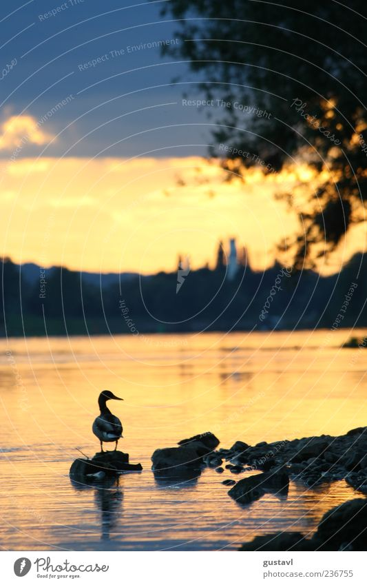 Stick Duck Sunrise Sunset Wild animal Bird 1 Animal Stand Free Red Contentment Watchfulness Nature Colour photo Exterior shot Deserted Evening Shadow Rear view