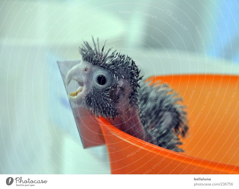 Animal Gray Baby animal Bird Orange Feather Animal face Scream Pet Beak Bowl Parrots Containers and vessels Close-up Animal sounds