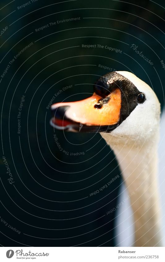 Nature White Animal Eyes Open Orange Wild animal Animal face Living thing Neck Beak Swan Fruit Dark background
