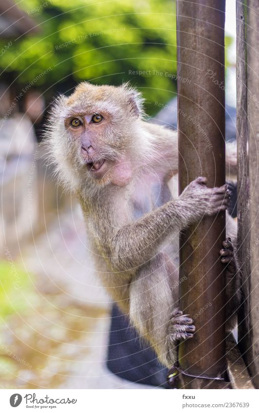 Monkey in Songkhla macaques Monkeys Thailand Temple Baby Baby eyes Animal Mammal Nature Apes Young monkey Cute Relaxation Break Restful Beautiful