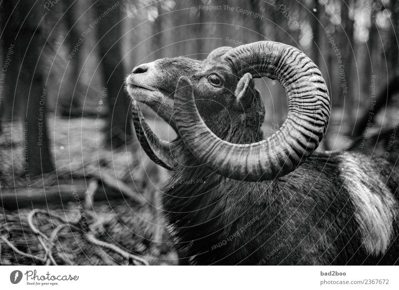 mouflon Animal Farm animal Wild animal 1 Observe Looking Authentic Exceptional Elegant Free Large Near Natural Curiosity Power Brave Love of animals Beautiful