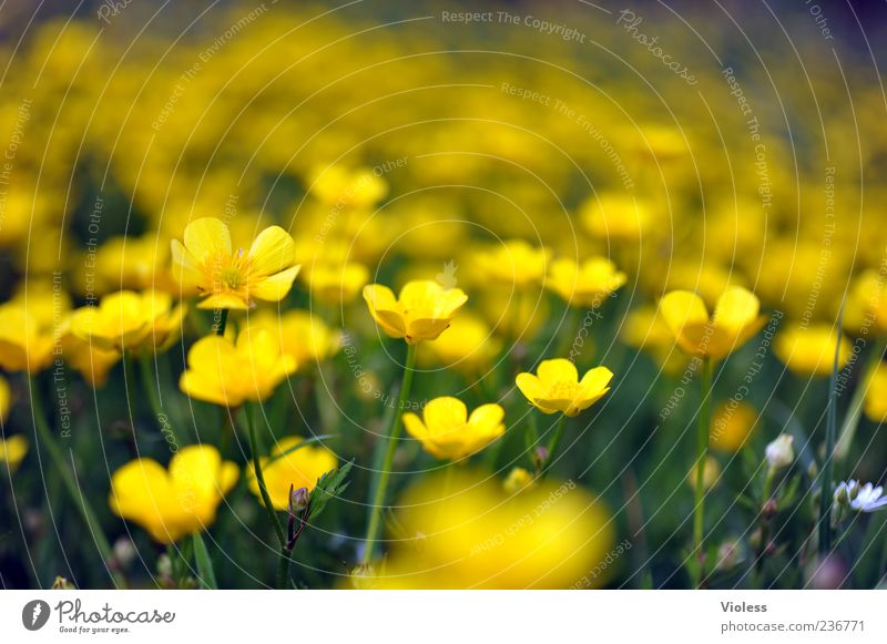 Nature Plant Flower Yellow Blossoming Flower meadow Spring fever Environment Meadow Crowfoot plants Marsh marigold