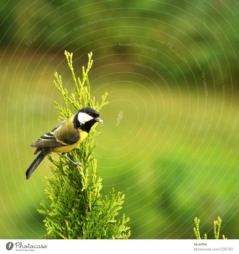 Parus major - Great Tit Animal Wild animal Bird 1 Esthetic Green Colour photo Multicoloured Exterior shot Deserted Copy Space right Copy Space top Day Blur