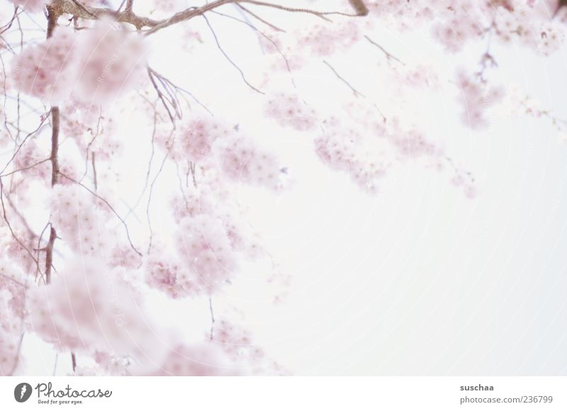 Sky Nature Plant Spring Blossom Pink Growth Branch Blossoming Soft Beautiful weather Delicate Expectation Twigs and branches Fragrant