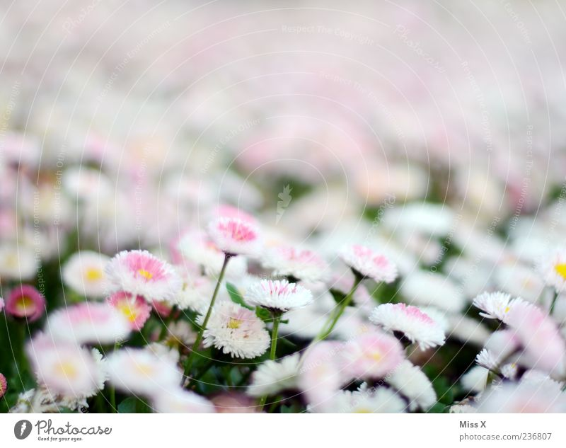 bellis Spring Plant Flower Blossom Garden Meadow Blossoming Growth Pink White Daisy Colour photo Exterior shot Close-up Pattern Deserted Copy Space top