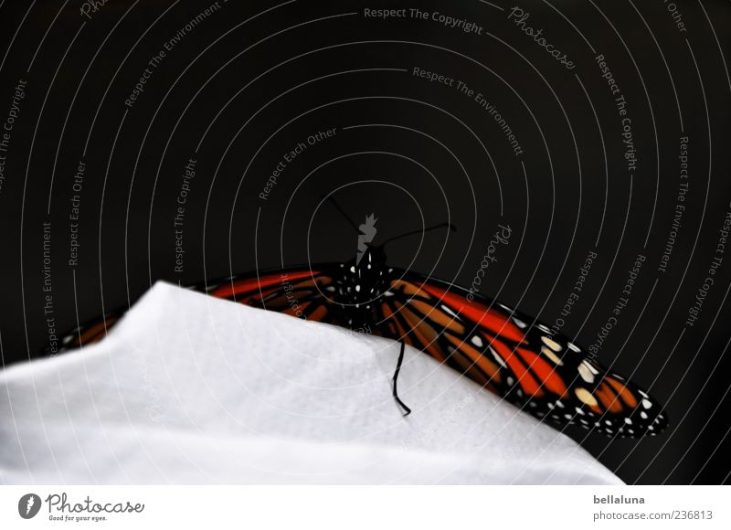 Beautiful Animal Wild animal Elegant Sit Wing Fantastic Butterfly Noble butterfly Monarch butterfly