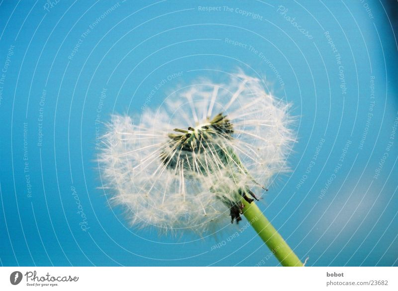 Blue azure flower 002 Dandelion Plant Stalk Blossom Fertilization Sky Seed Wind !