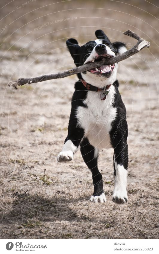 amy Animal Pet Dog 1 Running Playing Jump Enthusiasm Euphoria Power Movement Retrieve Stick Branch Colour photo Exterior shot Deserted Copy Space top