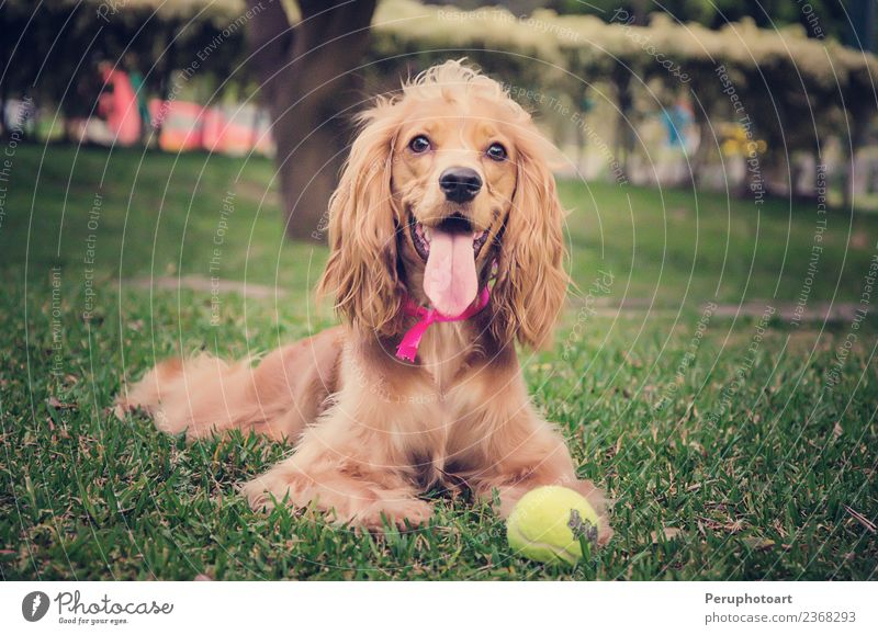English Cocker spaniel dog Joy Happy Beautiful Summer Garden Baby Nature Animal Grass Park Pet Dog Sit Natural Cute Brown Green White Delightful background