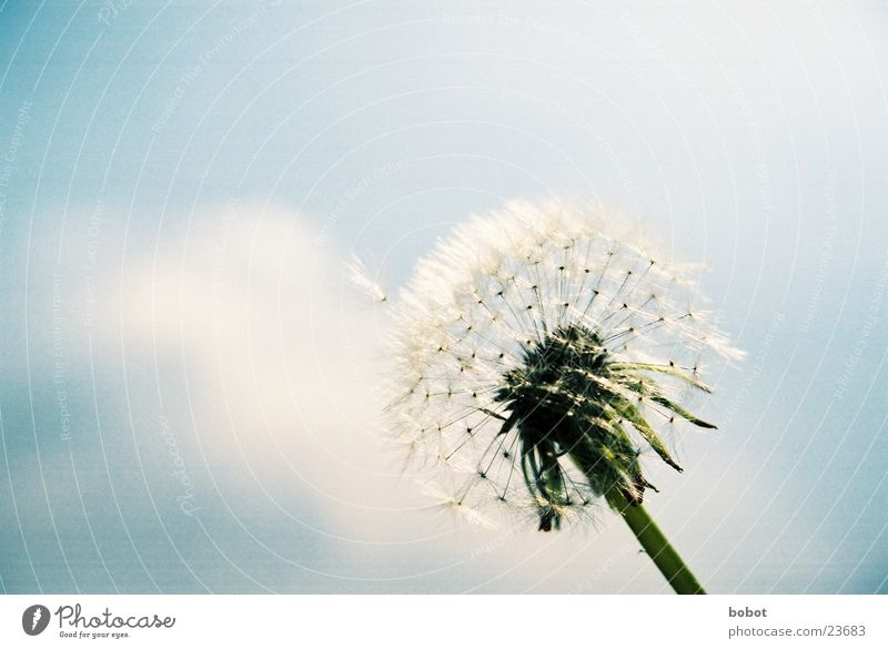 Sky Blue Plant Blossom Wind Stalk Dandelion Seed Flower Fertilization