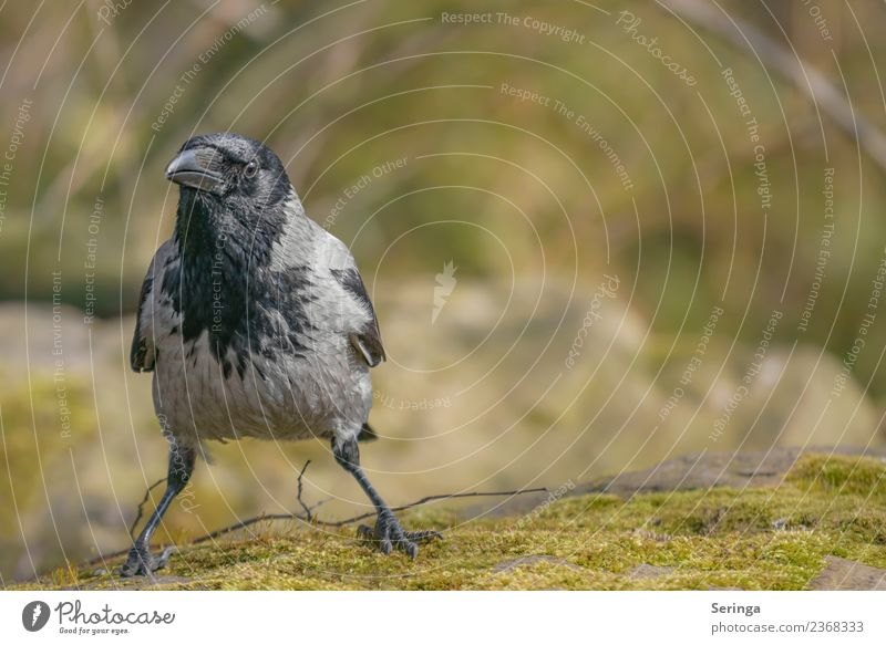 Raven Crow Fog Crow (Corvus corone cornix) Nature Landscape Plant Animal Garden Park Meadow Field Forest Wild animal Bird Animal face Wing Claw 1 Flying Looking