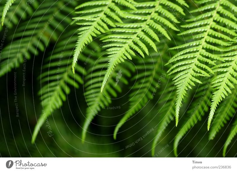 fern Nature Spring Summer Plant Fern Foliage plant Wild plant Green Growth Point Colour photo Exterior shot Pattern Structures and shapes Shallow depth of field