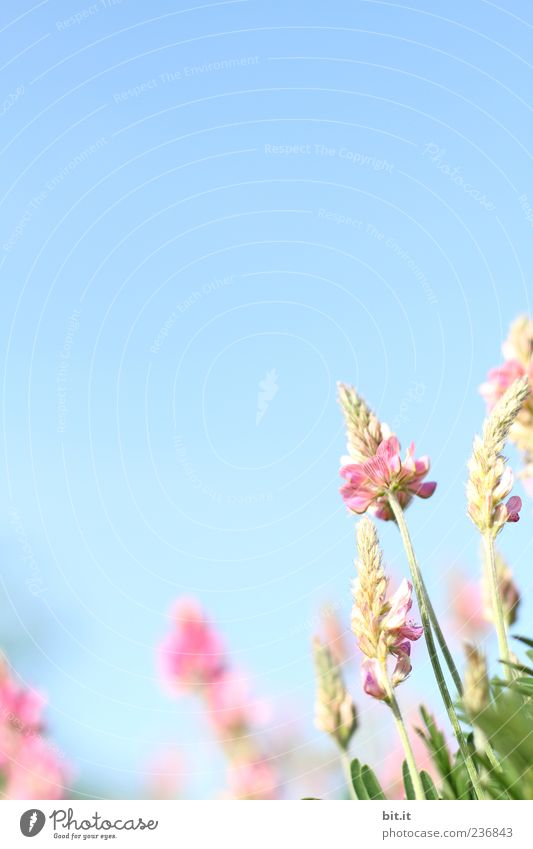 Sky Nature Blue Plant Summer Flower Calm Meadow Spring Blossom Natural Feasts & Celebrations Moody Pink Wild Birthday