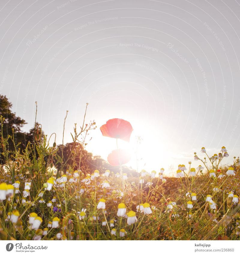 Monday Lifestyle Summer Sun Environment Nature Landscape Plant Air Cloudless sky Sunrise Sunset Sunlight Climate Weather Beautiful weather Grass Leaf Blossom