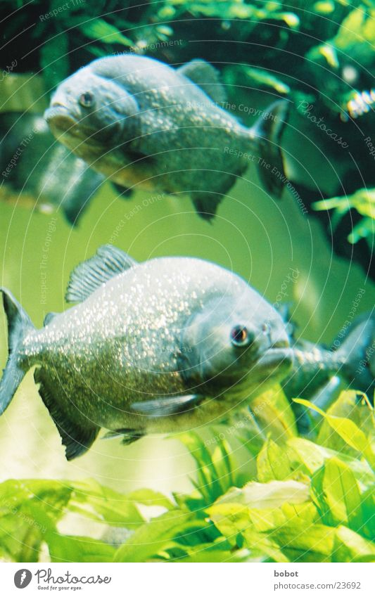 """Guys, it's done!"" Piranha Lake Body of water Transport piranja Pirania Fish Set of teeth Bite water plants River"
