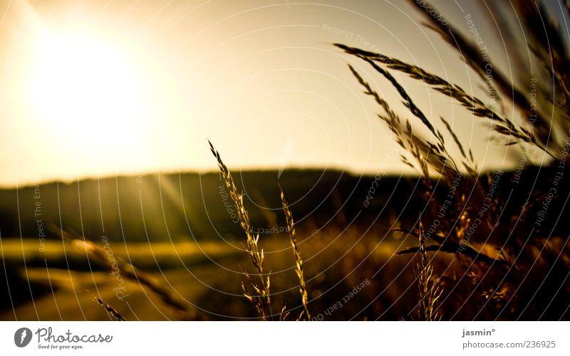 Nature Plant Sun Yellow Landscape Meadow Grass Brown Gold Field Idyll Dusk
