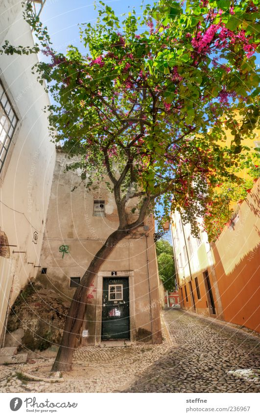 Portuguese ghost spruce Spring Summer Beautiful weather Tree Lisbon Portugal Old town House (Residential Structure) Wall (barrier) Wall (building) Door