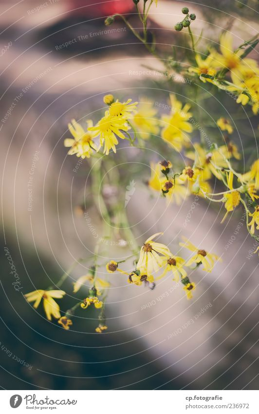 yellow Nature Plant Spring Summer Beautiful weather Blossom Foliage plant Colour photo Day Shallow depth of field Growth Blossoming Yellow Copy Space bottom