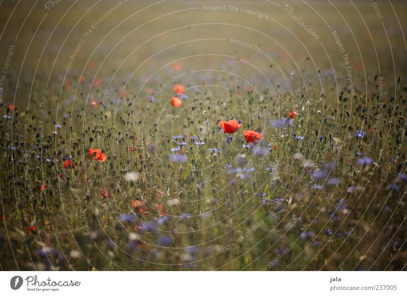 when the poppy blossoms... Nature Landscape Plant Flower Grass Blossom Poppy Meadow Beautiful Colour photo Multicoloured Exterior shot Deserted Day Twilight