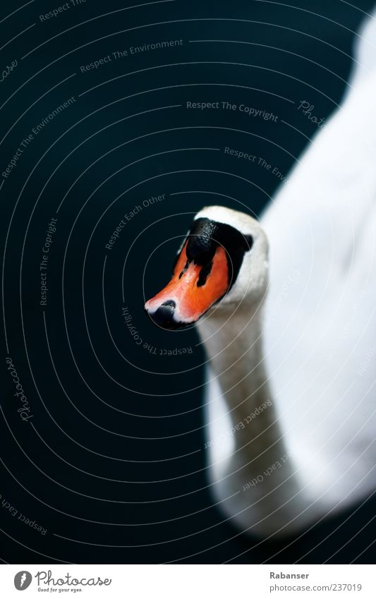 Hello!!! Nature Water Summer Animal Wild animal Animal face Swan 1 Looking Esthetic Authentic Bright Beautiful Red Black White Exterior shot Detail Deserted