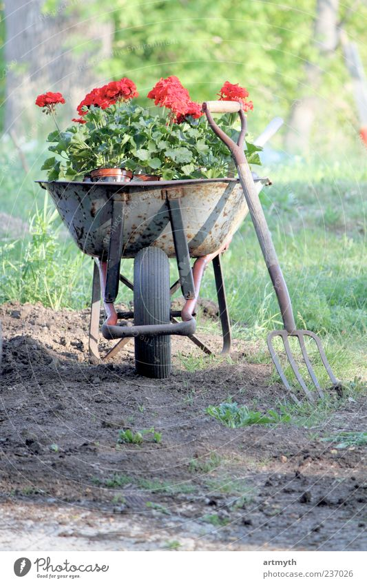 Geraniums in a wheelbarrow Plant Flower Landscape Garden Earth Beginning Esthetic Playing field Agriculture Effort Gardening Fork Work and employment