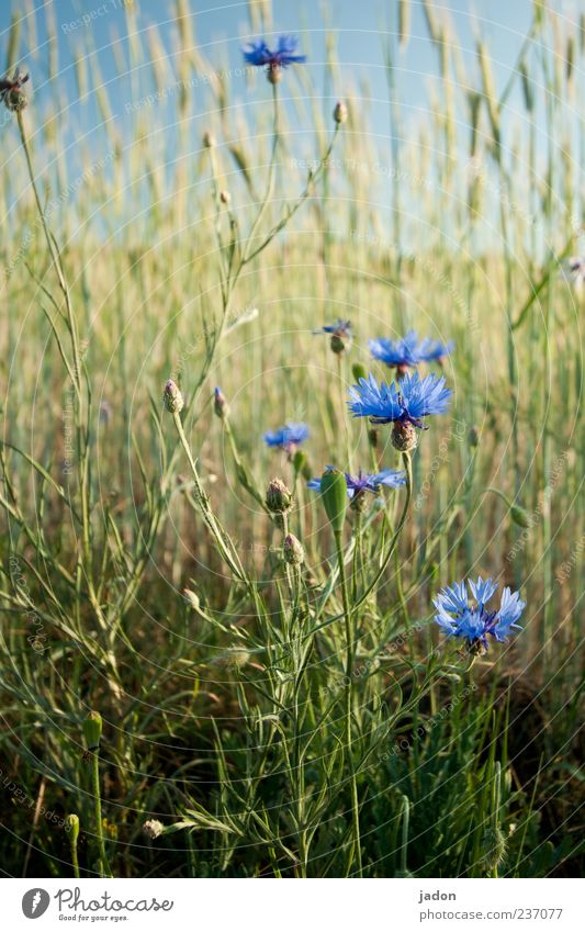 cornflower blue. Grain Herbs and spices Agriculture Forestry Landscape Plant Spring Beautiful weather Flower Grass Blossom Wild plant Field Fragrance Blue