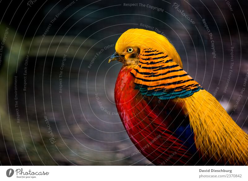 Golden Pheasant Nature Spring Summer Autumn Beautiful weather Forest Animal Wild animal Bird Animal face Wing Zoo 1 Blue Multicoloured Yellow Red Black Feather
