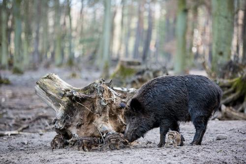 Wild boar family II Agriculture Forestry Earth Spring Autumn Beautiful weather Tree Road traffic Motoring Wild animal Herd Baby animal Animal family Brown