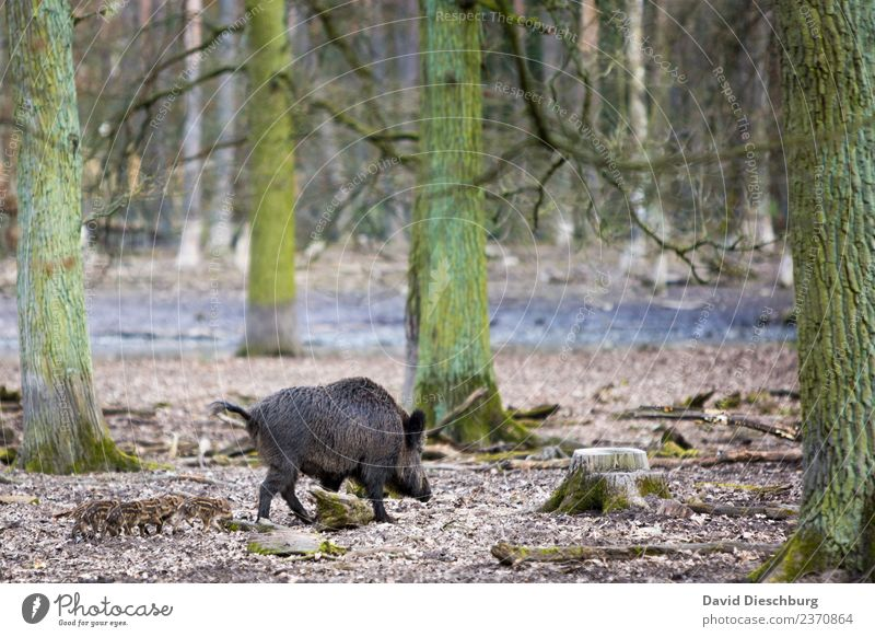 wild boar family Nature Landscape Plant Animal Spring Autumn Beautiful weather Tree Forest Wild animal Pelt Group of animals Herd Baby animal Animal family