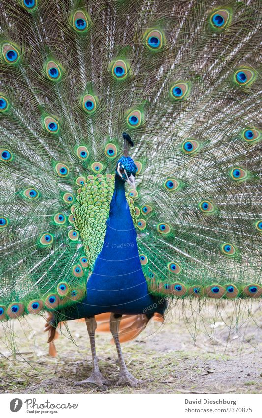 peacock Nature Spring Summer Autumn Beautiful weather Park Animal Wild animal Bird Animal face Wing Zoo Petting zoo 1 Blue Brown Yellow Green Orange Peacock