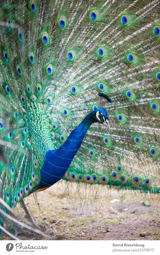 Nature Blue Beautiful Green Animal Yellow Spring Feather Beautiful weather Wing Violet Zoo Animal face Advertise Impressive Portrait format