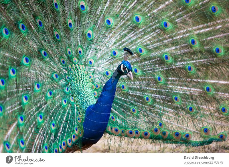 peacock Nature Beautiful weather Animal Bird Animal face Wing Zoo Petting zoo 1 Blue Green Violet Peacock Peacock feather Landscape format Rutting season Neck