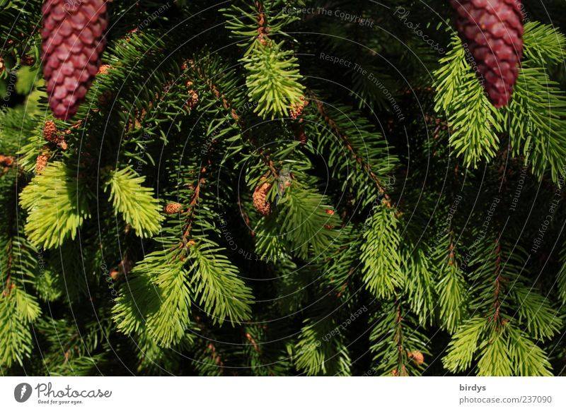 2 pine groves, please. Plant Spring Thorny Green Red Cone Shoot Fir needle Fir branch Branch Fresh Nature Fir tree Tree Bright green Dark green Coniferous trees