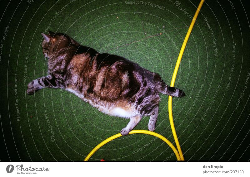 stone's throw Animal Pet Cat 1 Relaxation Lie Sleep Green Artificial lawn Hose Vignetting Analog Snapshot Trashy Overweight Fat Authentic Colour photo