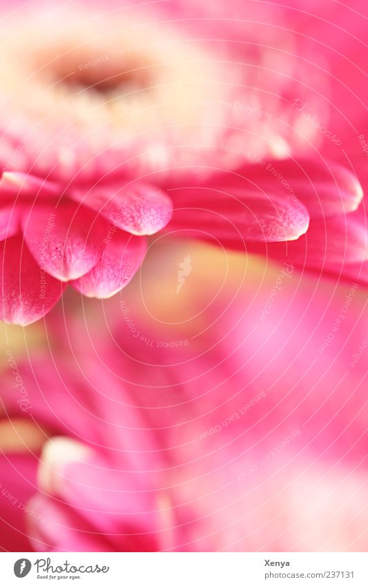 Pink Tentacle Plant Flower Blossom Gerbera Blossoming Blossom leave Colour photo Interior shot Deserted Copy Space bottom Blur Macro (Extreme close-up)