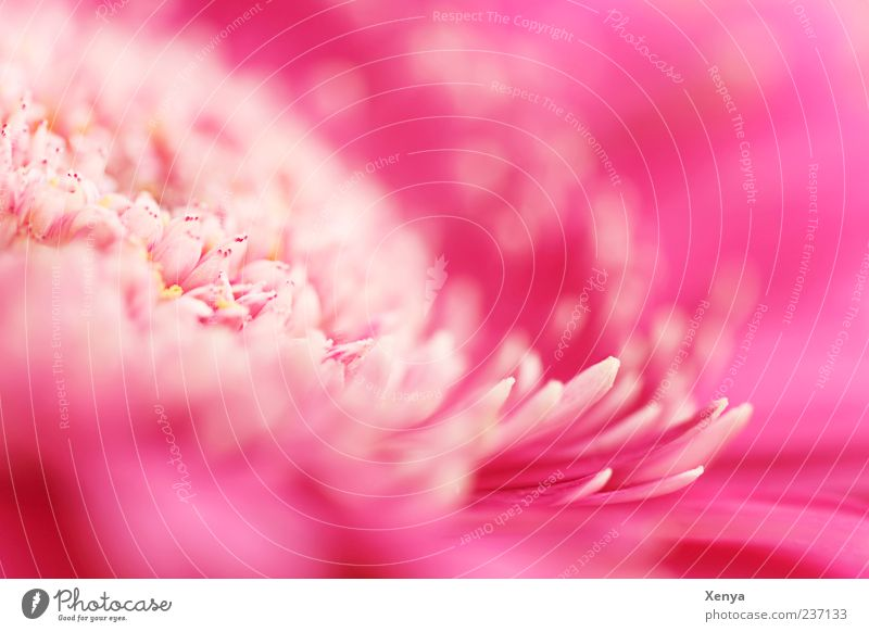 Plant Flower Blossom Pink Blossom leave Gerbera