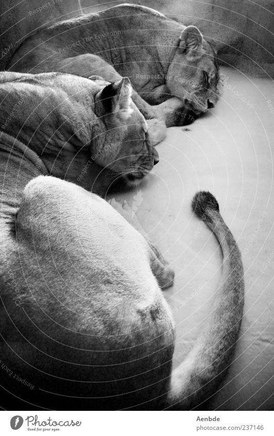 dreaming lions Animal Wild animal Zoo Lion 2 Pair of animals Sleep Tails Light Black & white photo Interior shot Day Lie Rest Closed eyes