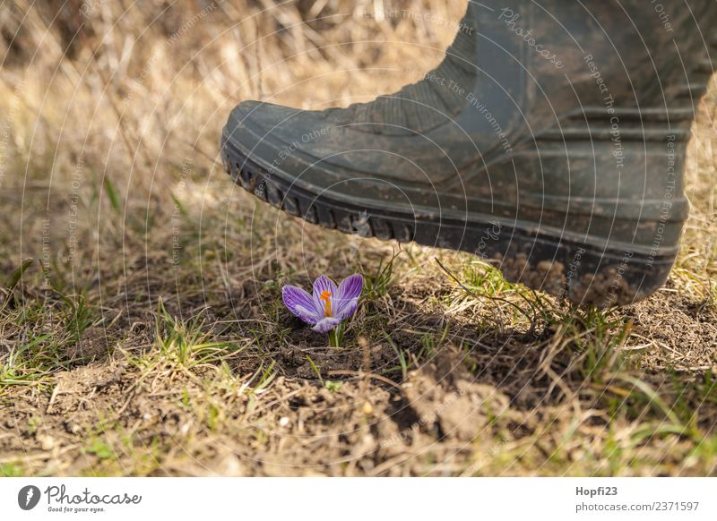 crush crocus Legs Environment Nature Landscape Plant Earth Sunlight Spring Weather Beautiful weather Flower Grass Leaf Blossom Meadow Hill Boots Rubber boots