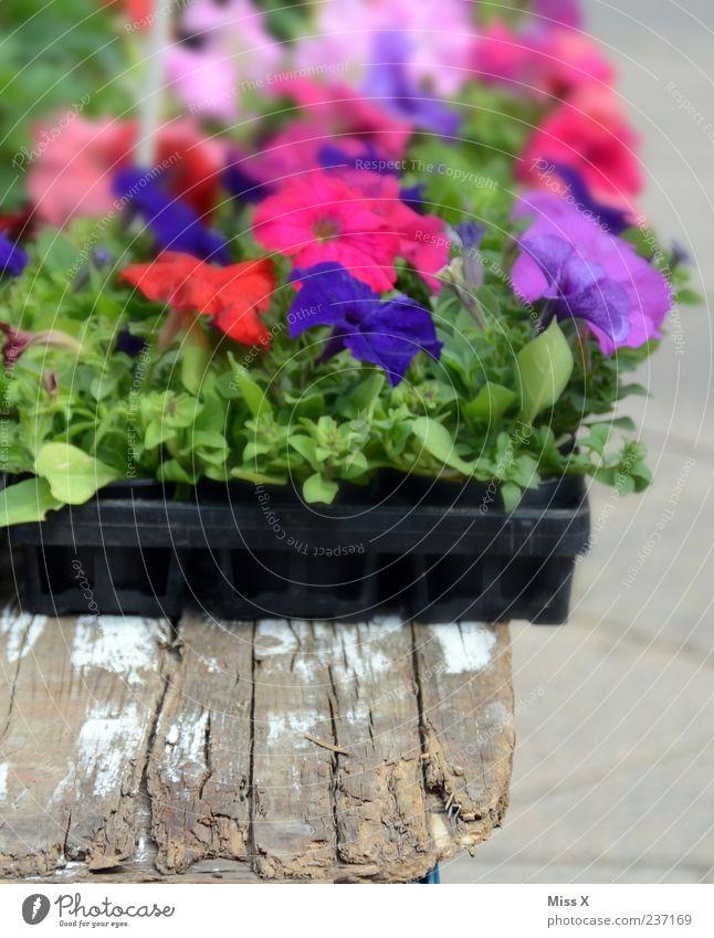 Blue Plant Flower Leaf Blossom Pink Many Violet Blossoming Goods Pot plant Balcony plant Petunia