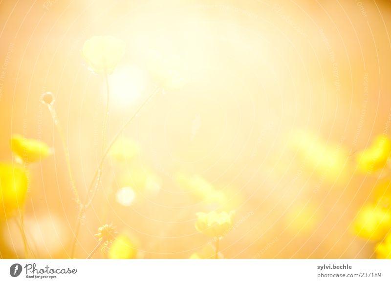 Nature Plant Sun Summer Flower Environment Yellow Meadow Warmth Blossom Orange Growth Illuminate Warm-heartedness Romance Idyll