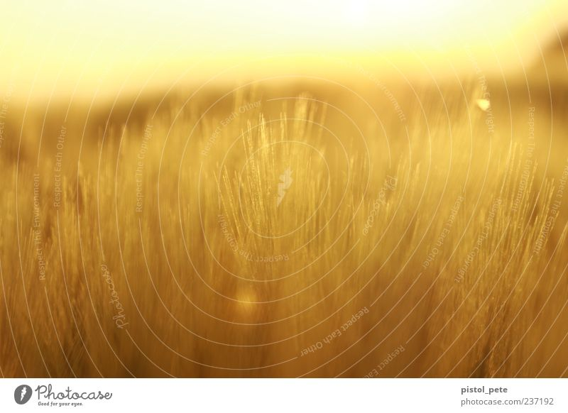 Ear field 1 Summer Sun Nature Landscape Sky Sunlight Beautiful weather Plant Agricultural crop Field Bright Natural Warmth Brown Yellow Warm-heartedness