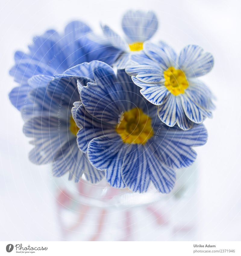 Blue white striped zebra primroses Elegant Design Nature Plant Spring Flower Blossom Primrose Zebra Primrose Garden Bouquet Blossoming Exceptional Beautiful